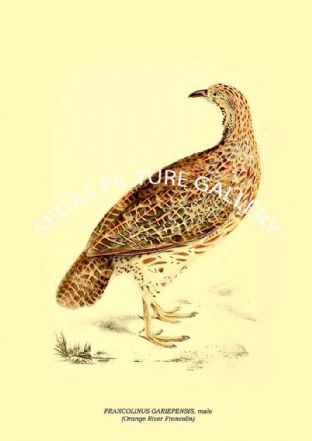 FRANCOLINUS GARIEPENSIS, male - Orange River Francolin